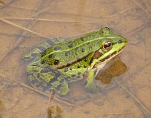 Skokan z Kokotských rybníků