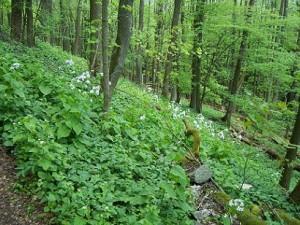 PR Herštýn - suťový les s měsíčnicí vytrvalou, 8. 5. 2008