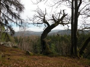 Starý dub na Jindřichově skále, únor 2016