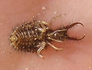 Larva, foto: Vašek Hrdina