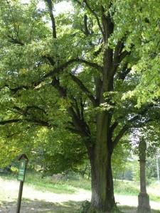 Památná strom a