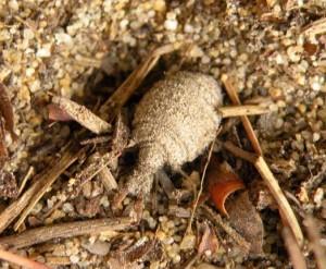 Larva mravkolva běžného