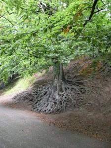 Kořeny buků
