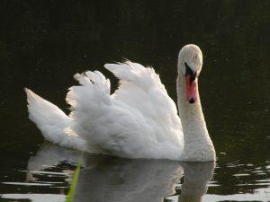 Labuť na rybníku Oběšenec, červenec 2016